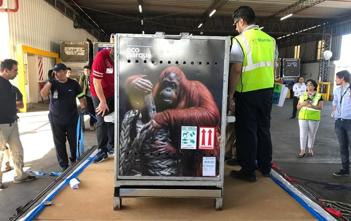 Shipping Sandra: An Orangutan's Journey Out Of Captivity.