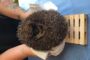 IPP Launches 'HAPPI' Hedgehog Initiative To Protect Wildlife.